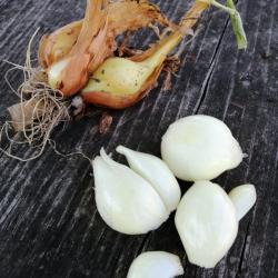 Cipollotti freschi BIO