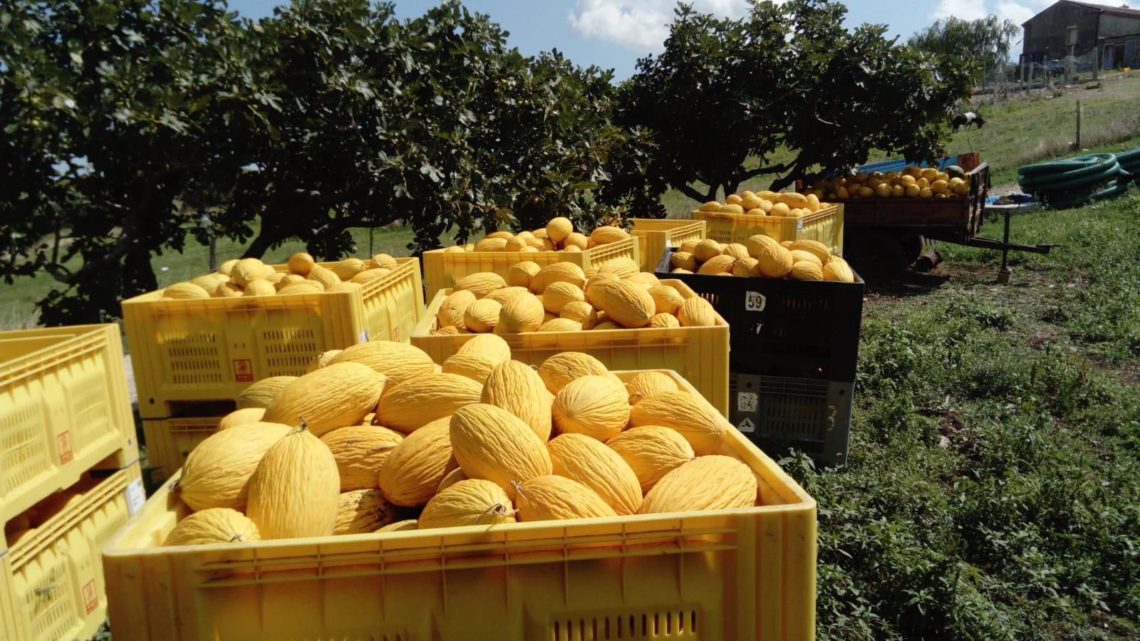 Meloni gialli rugosi nei campi