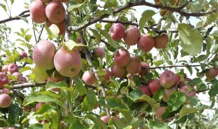 Ramo di mele
